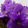 20060421104423-violetas.jpg