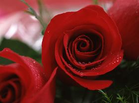 20060529225349-rosas.jpg