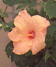 20060621204855-rosadechina.jpg